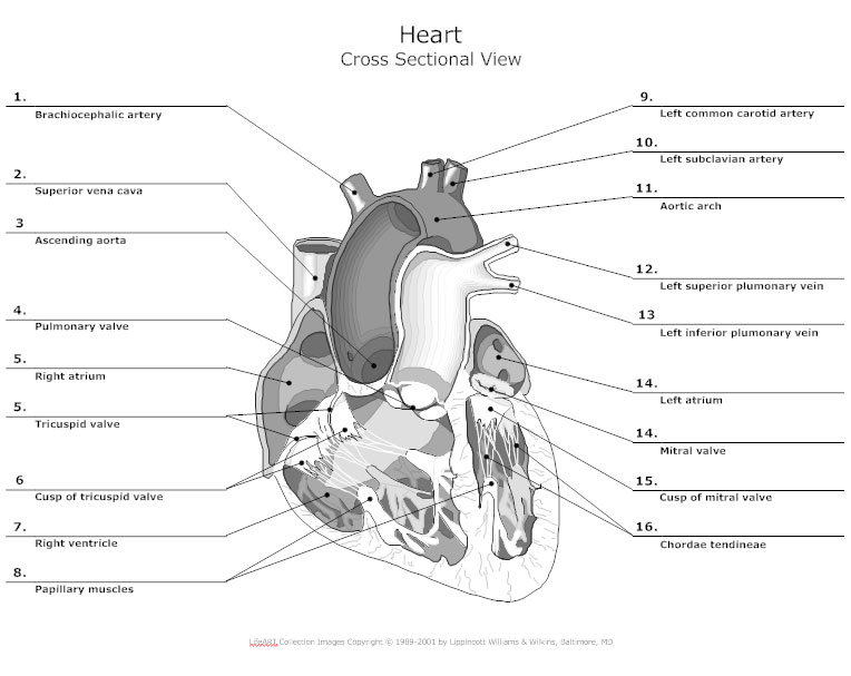 Anatomy chart how to make medical drawings and illustrations heart cross sectional view anatomy chart ccuart