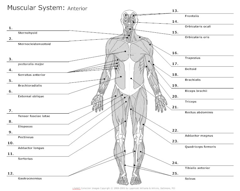 anatomy chart typical uses for anatomy charts. Black Bedroom Furniture Sets. Home Design Ideas