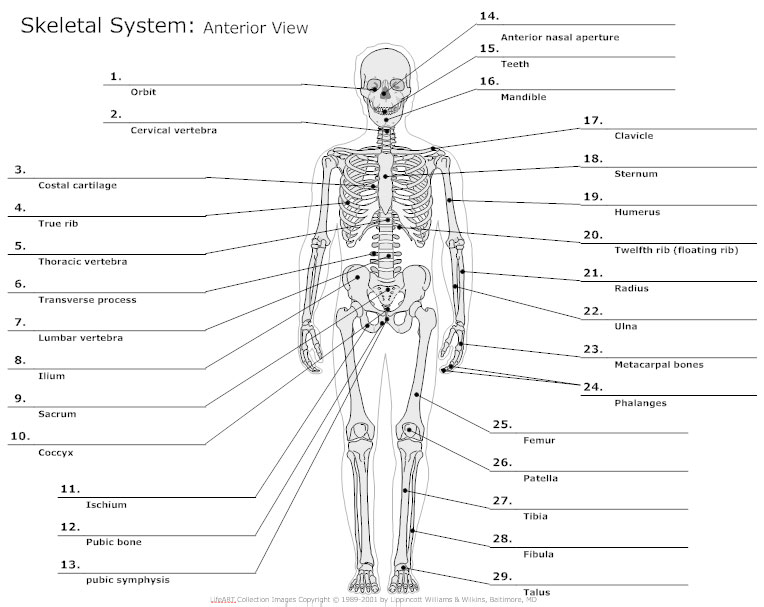 anatomy chart - typical uses for anatomy charts, Skeleton