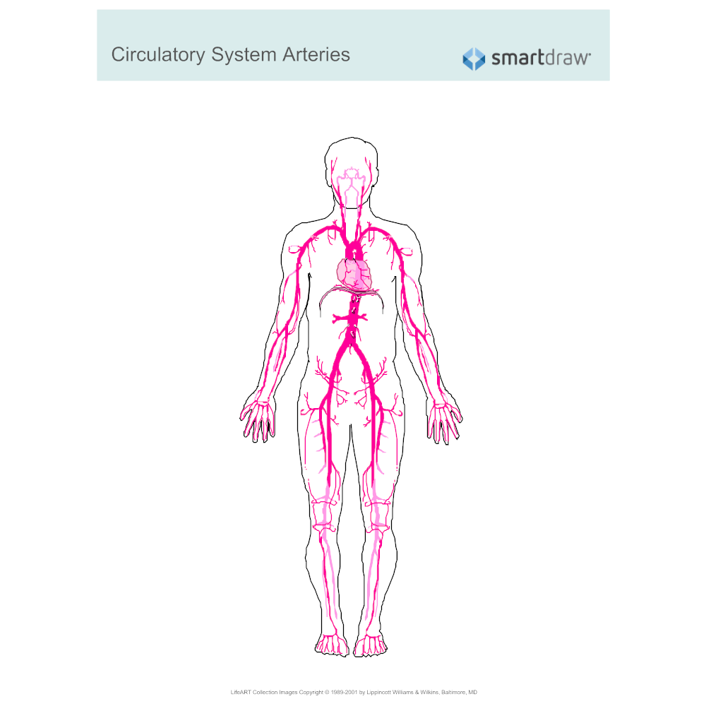 Example Image: Circulatory System - Arteries