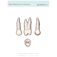 Right Maxillary First Premolar