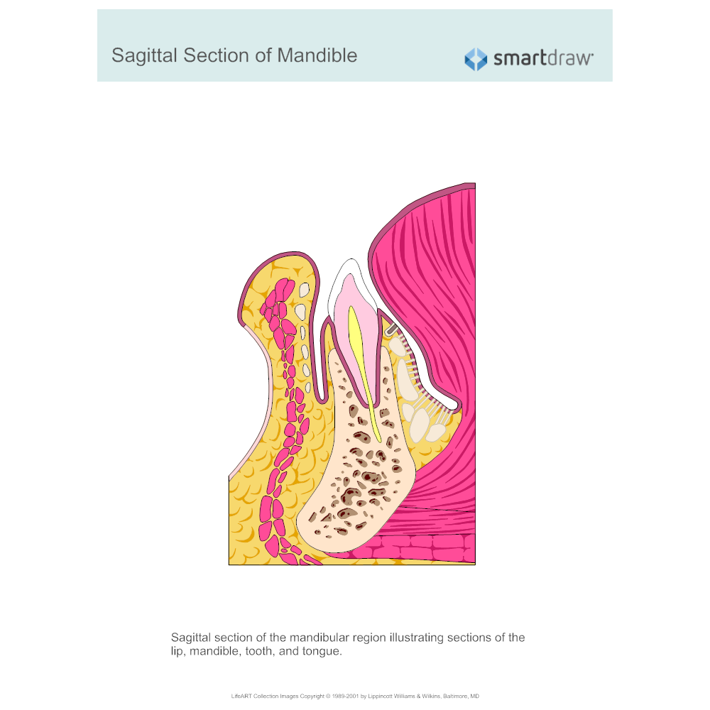 Sagittal Section Of Mandiblegbn1510011130