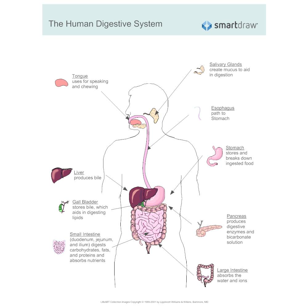 Fein Intestinale Systemdiagramm Galerie - Anatomie Von Menschlichen ...
