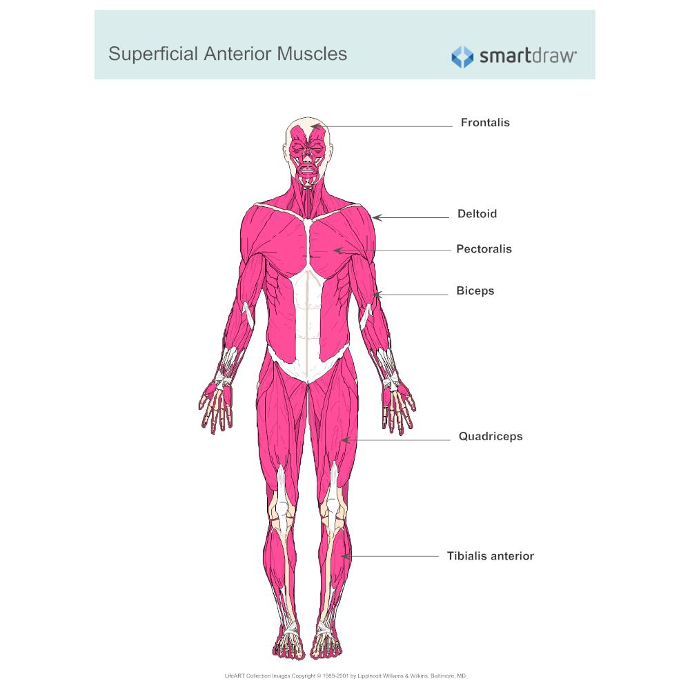 Worksheets Muscular System Labeling Worksheet muscular system diagram