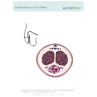 Cross-section of the Penis