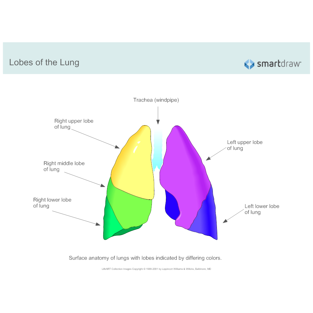Lobes of the Lung
