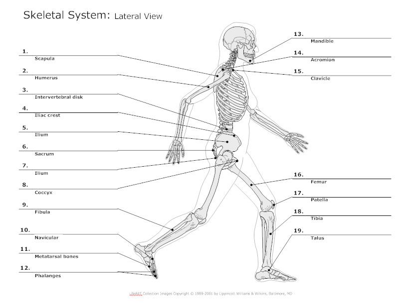 skeletal system diagram - types of skeletal system diagrams, Human Body