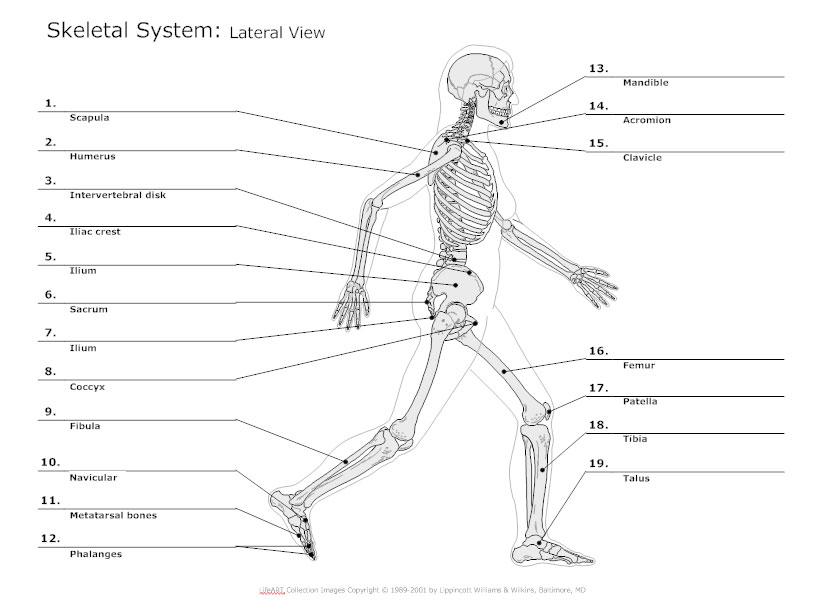 Skeletal System Diagram - Types of Skeletal System Diagrams