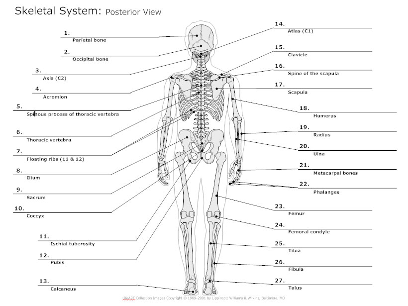 Skeletal system diagram types of skeletal system diagrams posterior view skeletal diagram ccuart Gallery